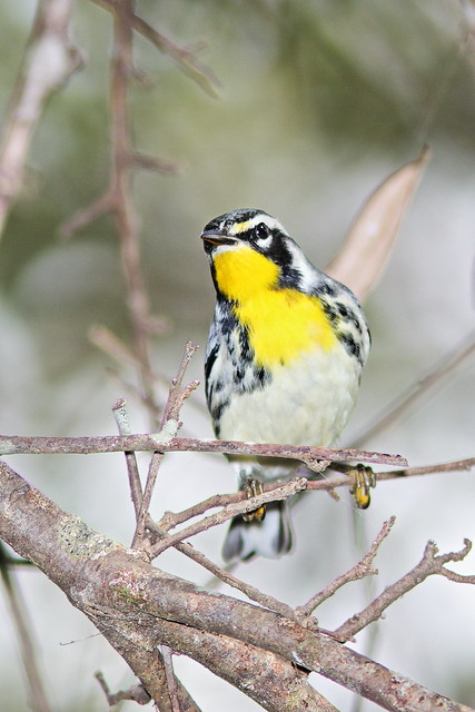 Yellow-throated Warbler 04-20200904