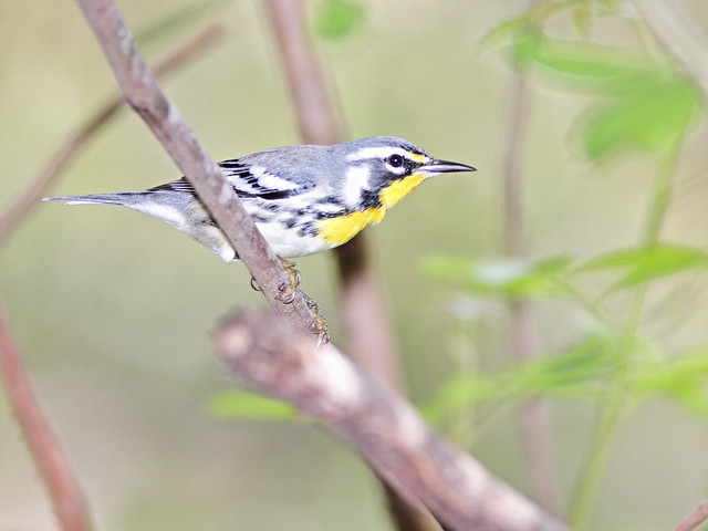 Yellow-throated Warbler 05-20200904