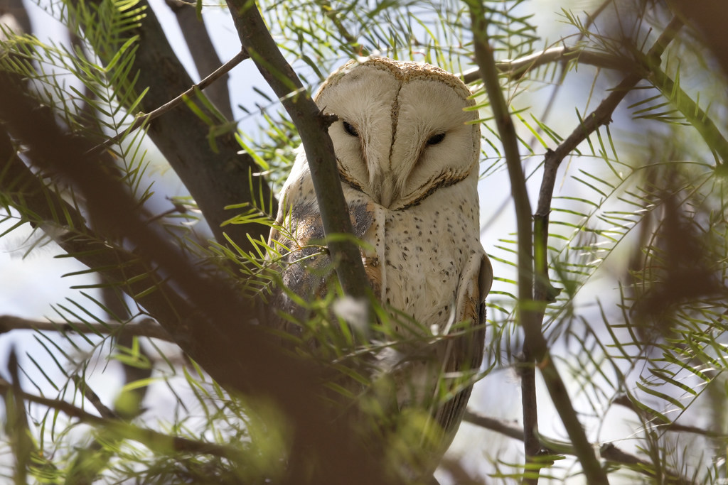 African Barn Owl | Lechuza Africana, African Barn Owl,Tyto ...