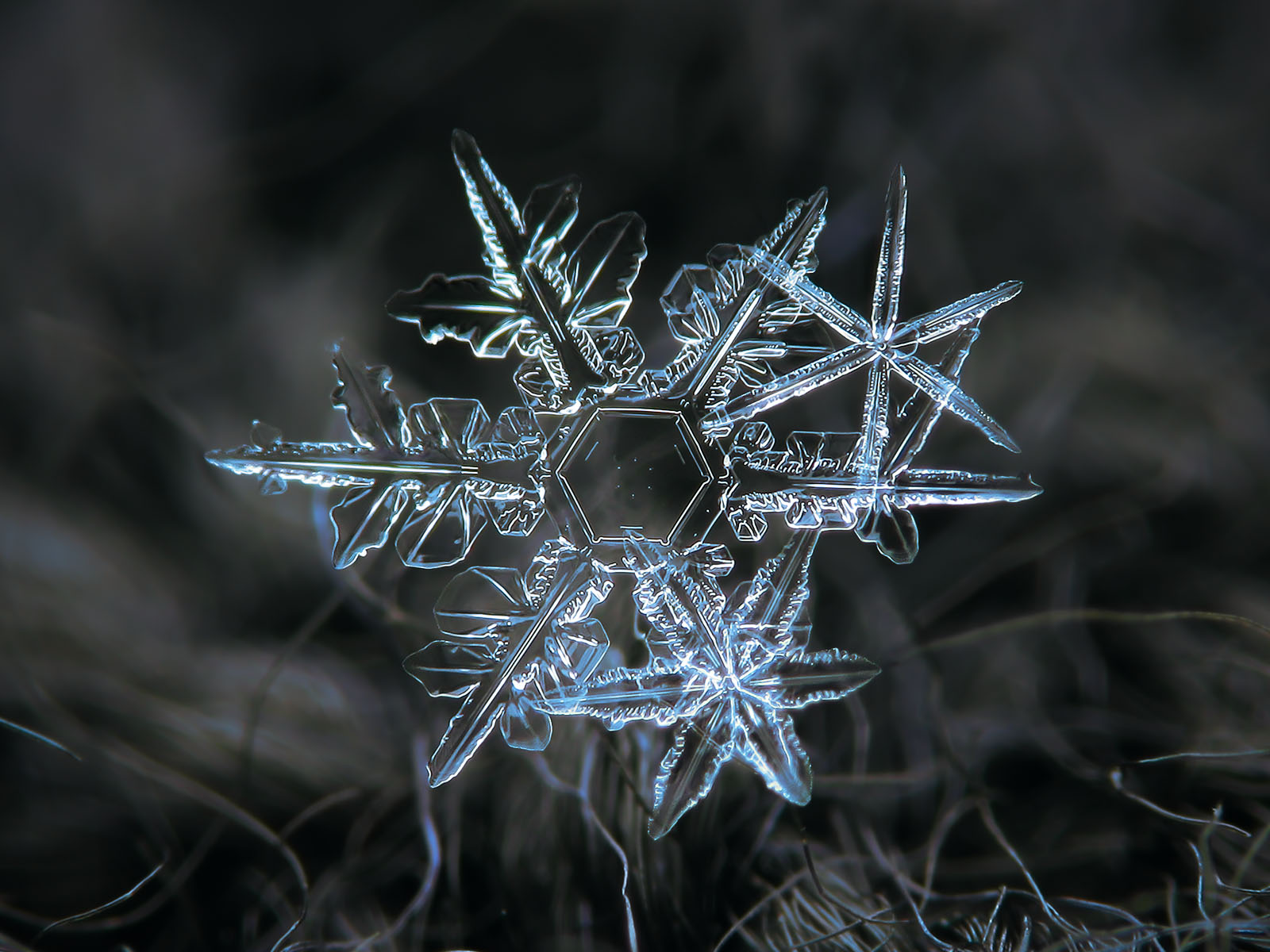 Picture of snowflakes: cluster of stellar dendrites with thin, transparent and sharp arms