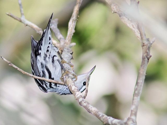 Black-and-White Warbler 03-20200904