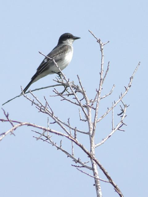 Eastern Kingbird 01-20200904