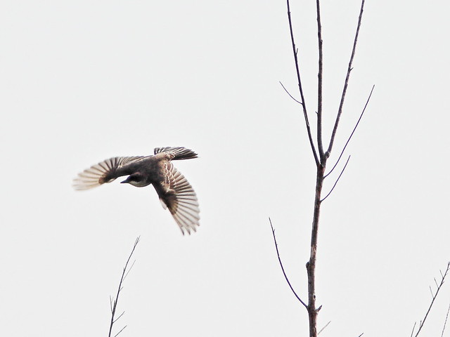 Eastern Kingbird IN FLIGHT 03-20200904