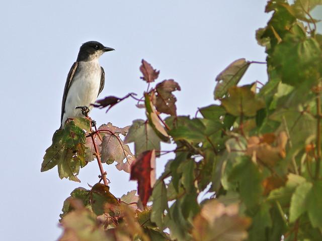 Eastern Kingbird in Red Maple 05-20200904