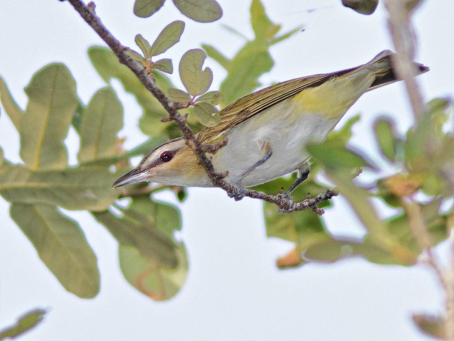 Red-eyed Vireo 02-20200904