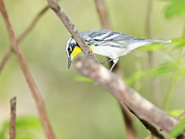 Yellow-throated Warbler 08-20200904