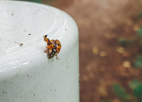 gehavend lieverheersbeest