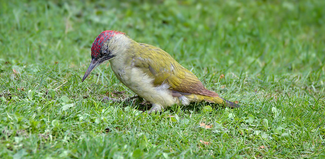 an European green woodpecker searching for ants