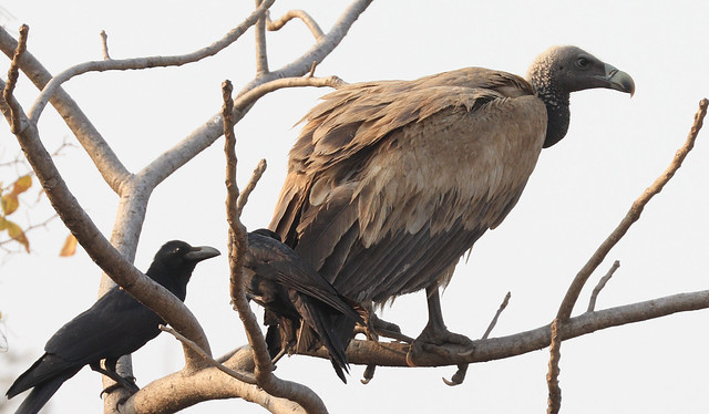 International Vulture Awareness Day - 9th September 2020