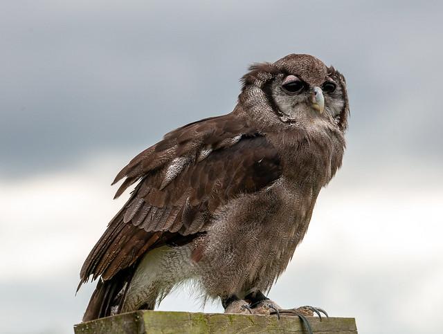 European eagle owl,perched..