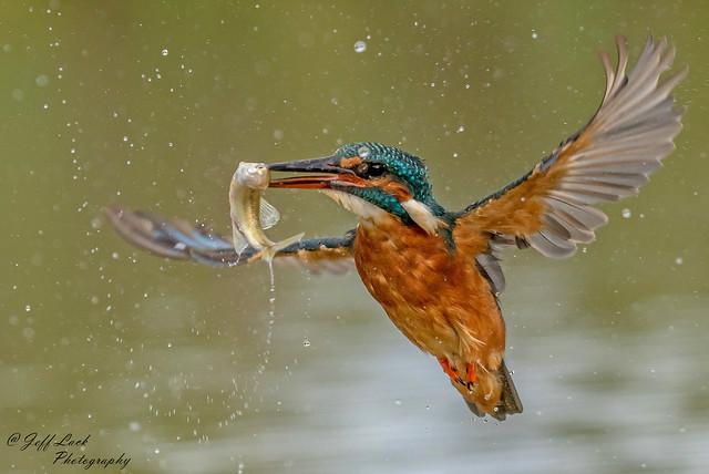 DSC7761  Kingfisher...