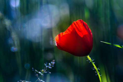 Red Poppy | by Theo Crazzolara
