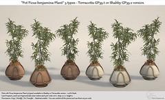 "::Tm:.Creation ""Pots Ficus benjamina Plant"" Terracotta or Shabby GP35"