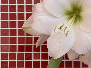 "The Amaryllis (Hippeastrum hybridum) ""Lemon Sorbet"" in full bloom at home. 