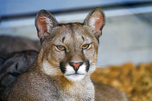 Portrait of a young puma
