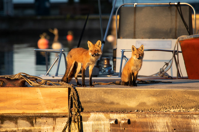 Urban Fox vixen & kit on the dock