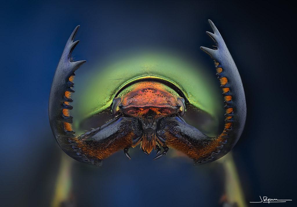 Lamprima adolphinae 2 [Explore #30  2020-09-06]