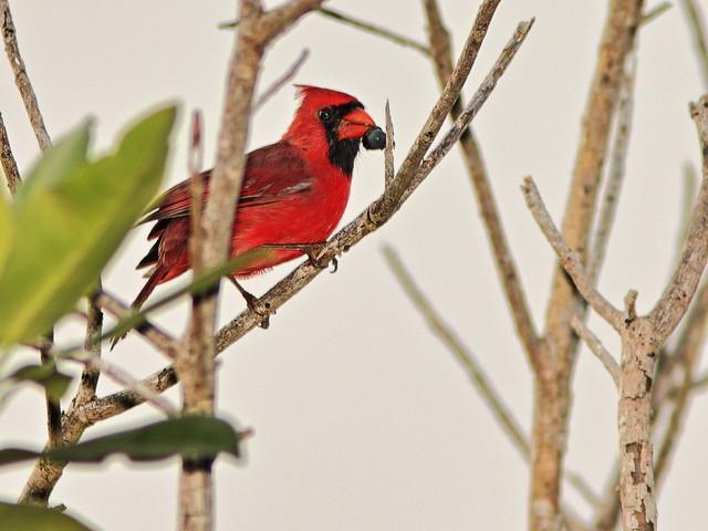 Northern Cardinal male 02-20200905
