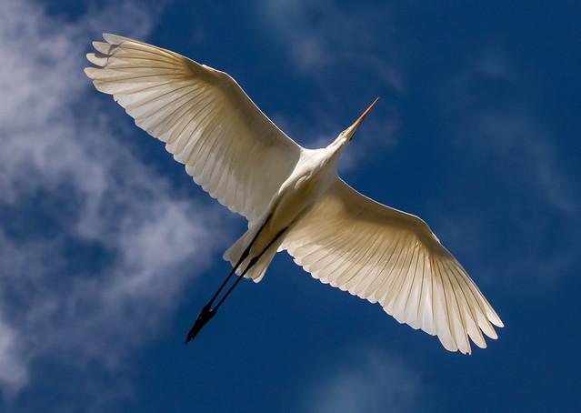 Great white egret, Abberton reservoir