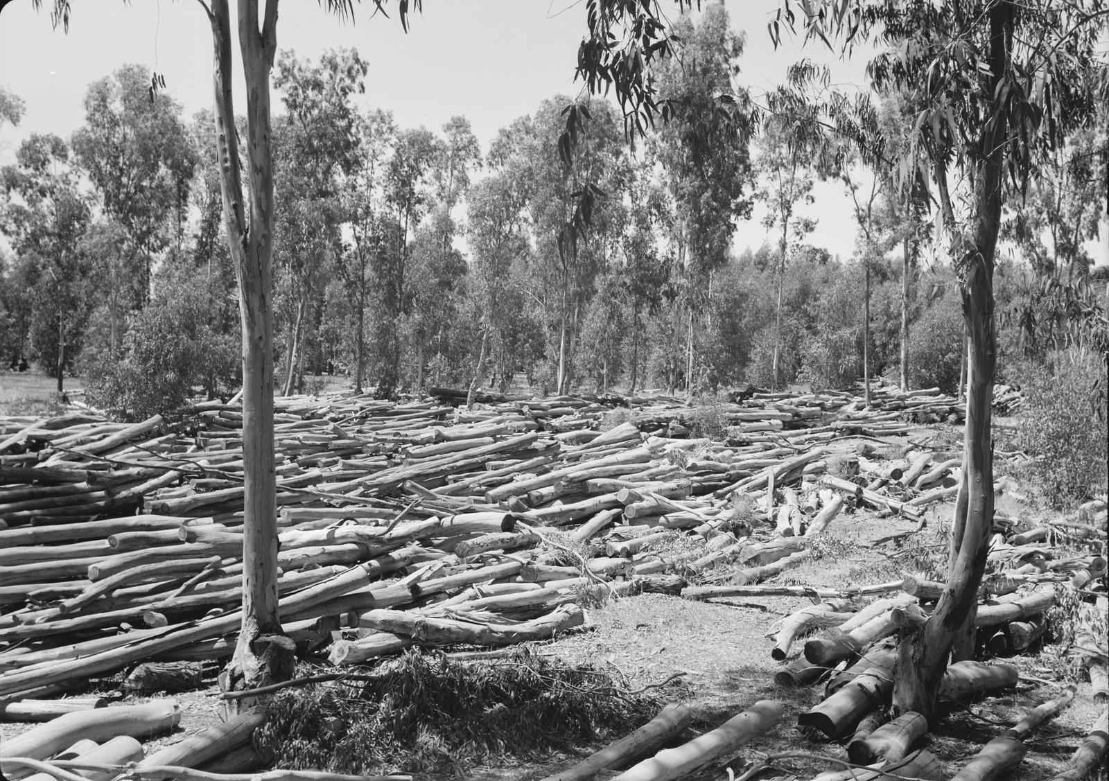 02. Масса стволов деревьев подсыхает перед распиловкой на доски