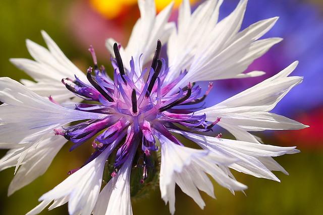 White cornflower in miniature wildflower meadow in Fareham