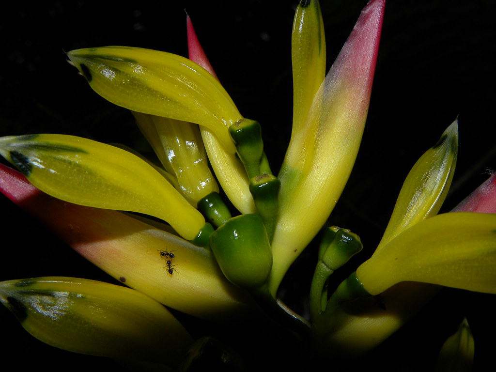Heliconia vaginalis Benth. * Platanilla *