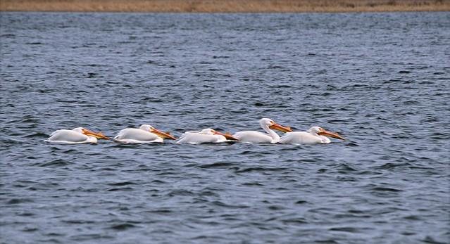 ~~~ White Pelican Caravan ~~~