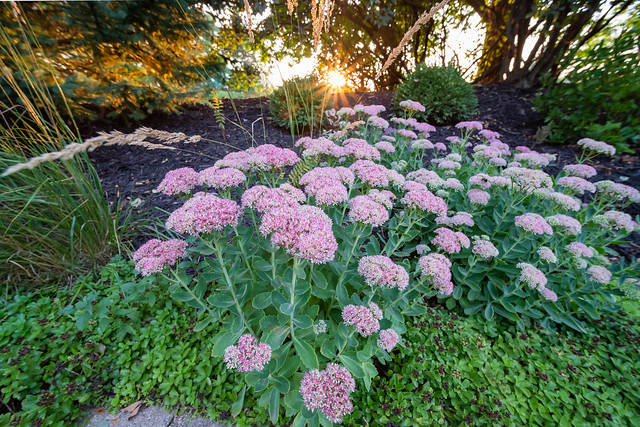 Bumble Bees on flowers at Sunset at 12 mm