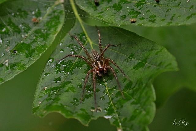 Agelenopsis pennsylvanica / grass spider (male)