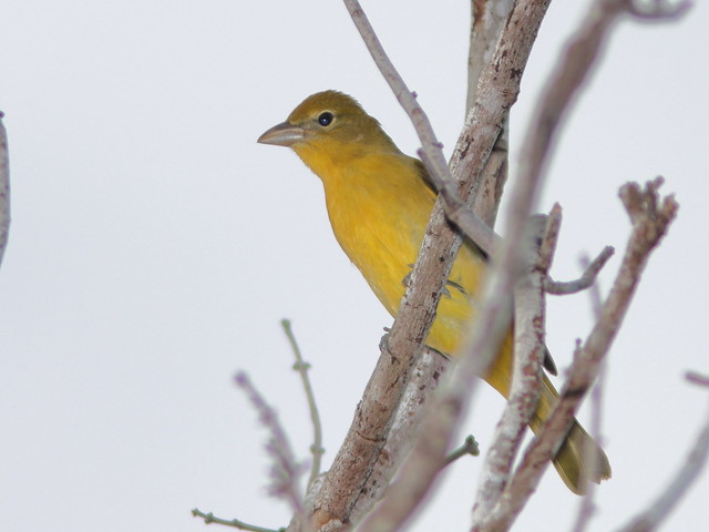 Summer Tanager 01-20200905