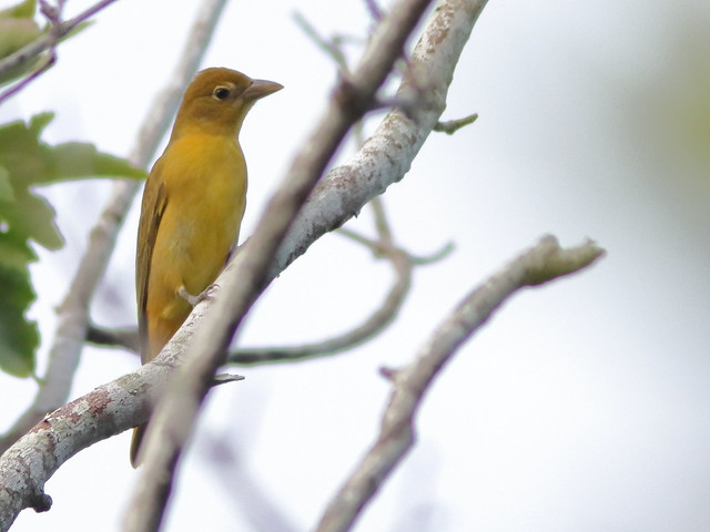 Summer Tanager 04-20200905