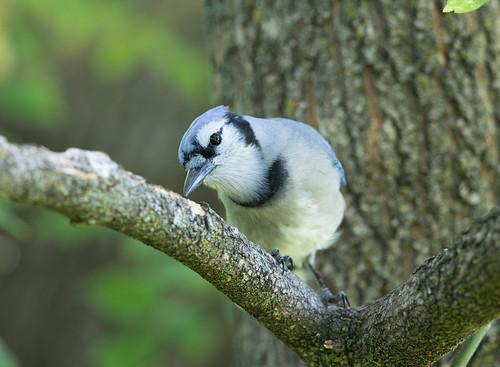 Blue Steel the Blue Jay