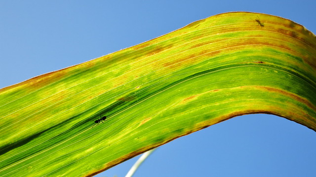 Ants on the Corn Leaf