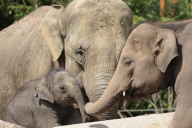 asiatic elephant Sanuk Thong Tai and  Vinh artis BB2A0049