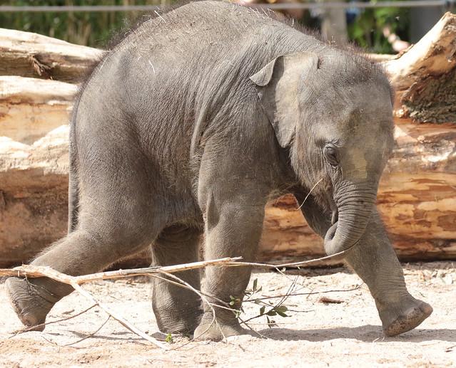asiatic elephant Vinh artis BB2A0146