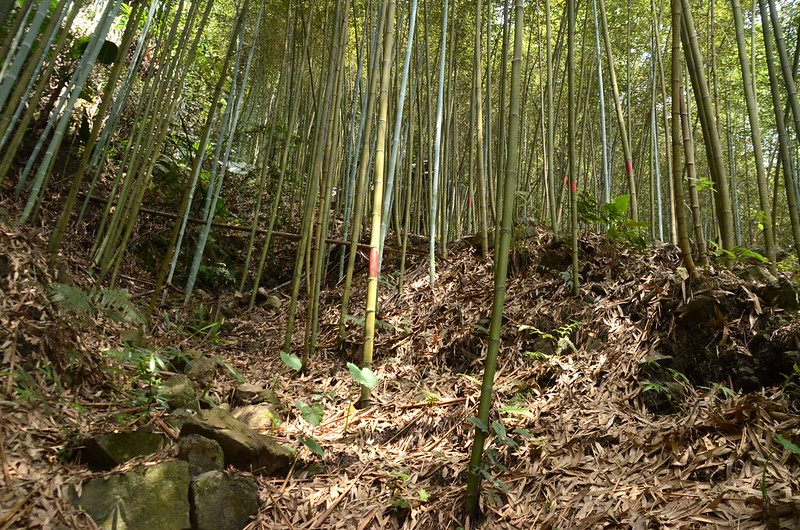 南橫龍山竹林陡坡