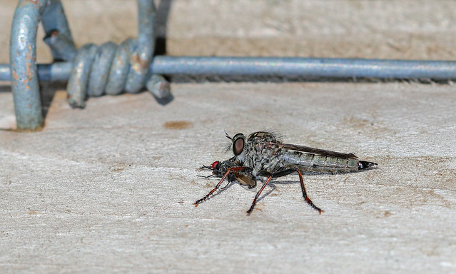 Lunching Robberfly!