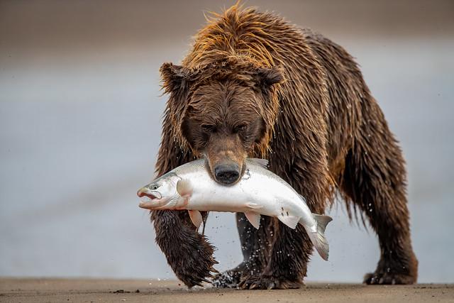 Fisher Bear 3I4803