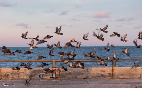 birds flutter fly morning sunrise light pier sea ocean blue sky nature summer outside beauty beautiful canon keywest florida vacation 2020 movement flock pink clouds horizon water shadow action coth5 ngc npc