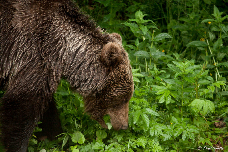 Brown bear foraging