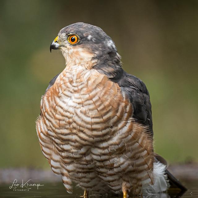 Sparrowhawk | Sperwer