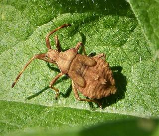 Dock Bug. Late instar nymph