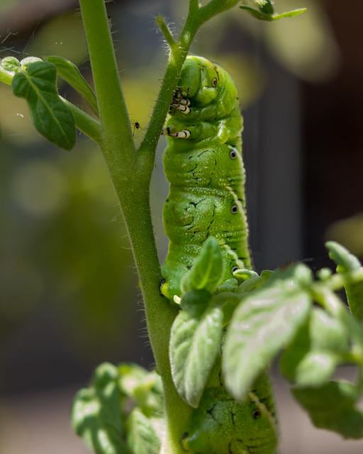 Hornswoggling hornworm