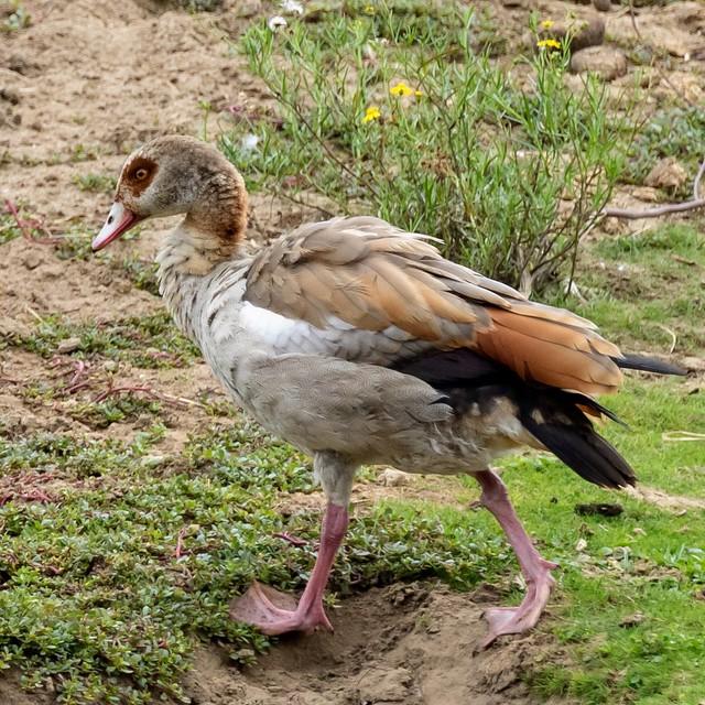 walking Egyptian goose