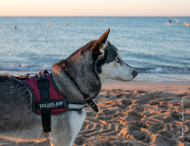Husky at the beach #Sigma50mmArt #CanonPhotography