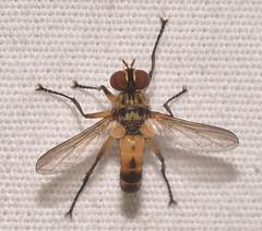 Xanthomelanodes sp.