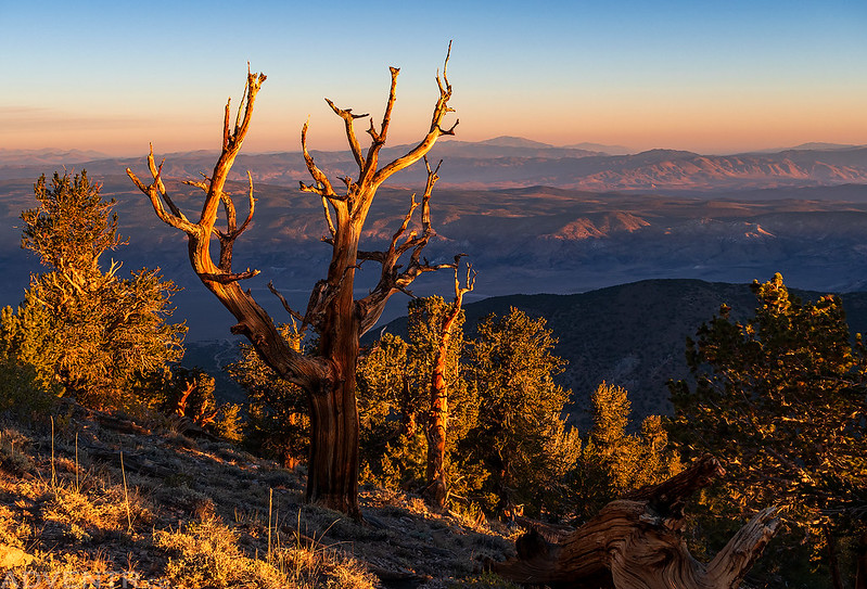 Bristlecone Forest Morning