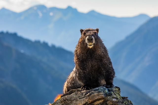 Hoary Marmot in North Cascades National Park