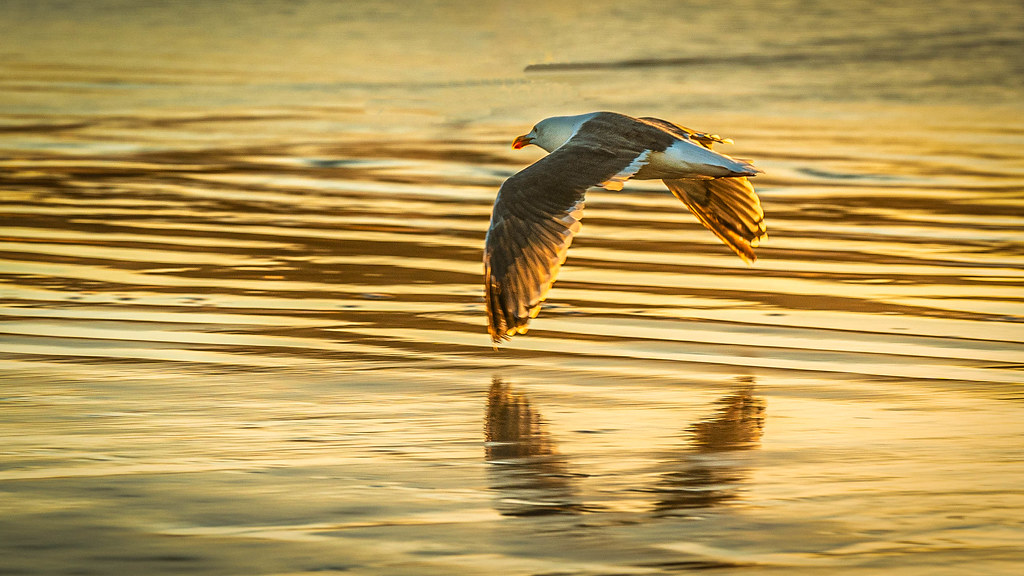 Gull at sunset 8258-