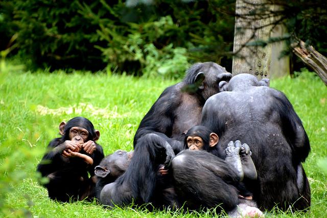 Western Chimpanzee (Pan troglodytes verus)